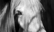 Bedford Horse jpg