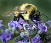 Bee Iris Slide Show