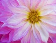Dahlia Floral