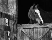 LI Horse BW Slide Show