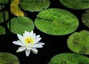 Lotus w Pods