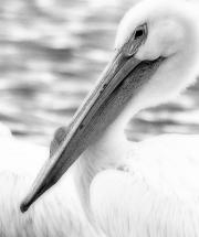 White-Pelican-Blur-BW