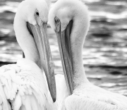 White-Pelican-Cropped-BW