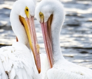 White-Pelican-Cropped