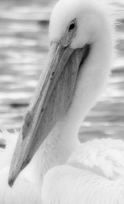 White-Pelican-Portrait